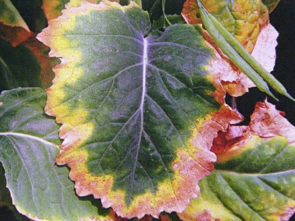 potassium deficiency symptoms in oilseed rape