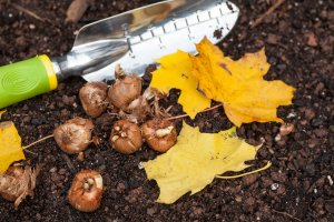 planting bulbs in fall